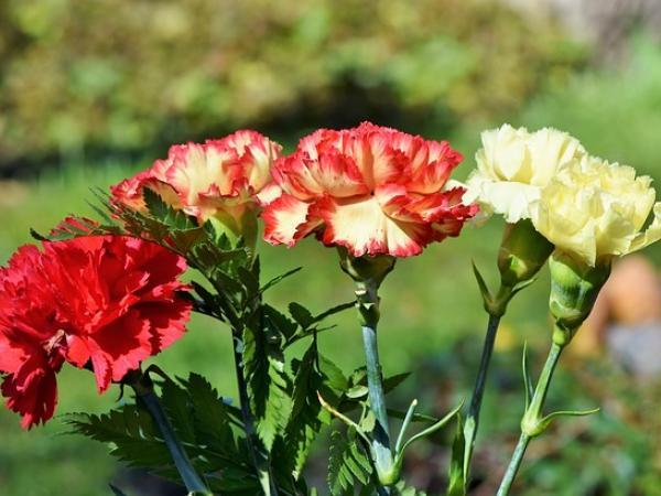 Гвоздика - национальный цветок Испании